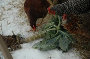 Chickens and kale from Joey L. at thegreatergreen.typepad.com